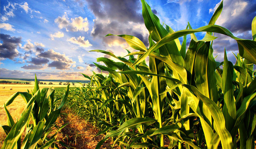 Corn fields and blue sky