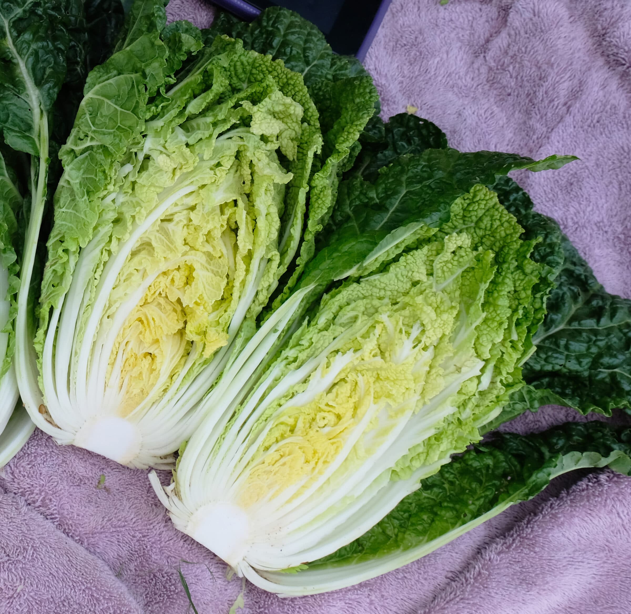 Wawa Tsai Chinese Cabbage Not Treated Seedway