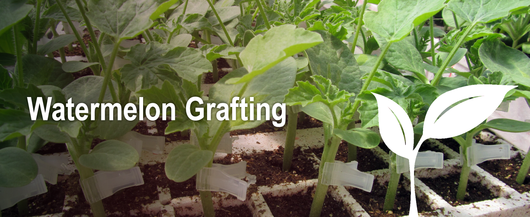 Grafting sprouts of watermelon plants